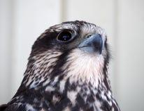 Drom för Eagle allvarlig ståendesikt ner på vit bakgrund Royaltyfria Bilder
