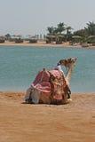 Dromadaire Images libres de droits