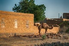 Dromadaire de chameau photographie stock libre de droits