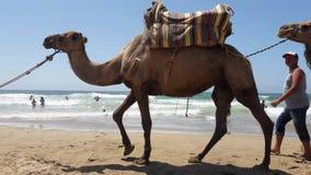 Dromadaire 4. Tangier city beach dromadaires Stock Image