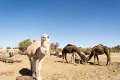 Dromadaires dans le désert Photographie stock libre de droits