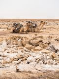 Dromaderów wielbłądy jused odtransportowywać sól w Danakil Depressi Zdjęcia Royalty Free