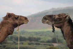 Dromaderów wielbłądy Morroco Zdjęcie Royalty Free