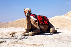 Dromadera wielbłąd fotografia royalty free