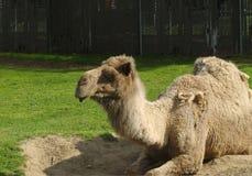 Dromadera wielbłąd zdjęcia stock