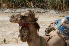 Dromadera wielbłądzi pozuje fof kamera obrazy stock