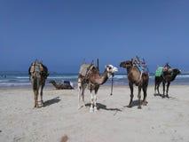 Dromadery odpoczywa przy Essaouira plażą zdjęcia royalty free