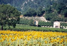 Drome landscape in summer with sunflowers and rugged mountains stock photo