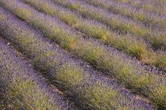 Drome lavender Stock Images
