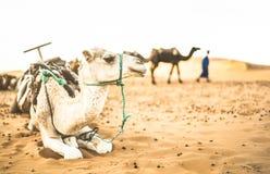 Dromedário domesticado que descansa após a excursão do passeio do deserto em Merzouga imagem de stock royalty free