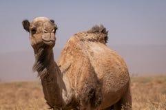 Dromed?rio selvagem no deserto marroquino fotos de stock