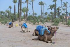 Dromedar骆驼临近流浪的绿洲 免版税库存图片