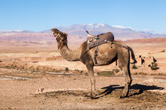 Dromedar in the High Atlas of Morocco Royalty Free Stock Photos