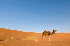 Dromedar i ökenerget Chebbi, Marocko Arkivfoto