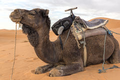 Dromedar in Morocco, North Africa Stock Images