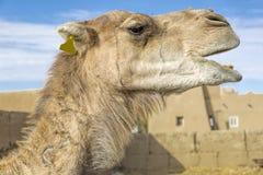 Dromedar portrait, Morocco Royalty Free Stock Photos