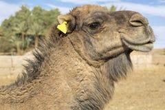 Dromedar portrait, Morocco Royalty Free Stock Photo