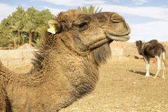 Dromedar portrait, Morocco Royalty Free Stock Image
