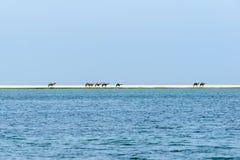 Dromedare bei Wadi Darbat, Taqah (Oman) Lizenzfreies Stockbild