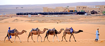 Dromedare in Folge in der Wüste des ERGS Marokko Stockbild