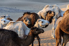 Dromedare Marokkos (Hamada du Draa) Stockfotografie