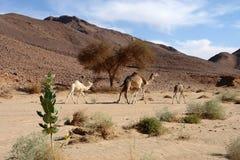 Dromedari dromedary. Dromedary family in Sudan desert Stock Photo
