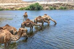 Dromedaries σε Wadi Darbat, Taqah (Ομάν) Στοκ φωτογραφία με δικαίωμα ελεύθερης χρήσης