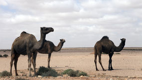 Dromedaries Royalty Free Stock Image