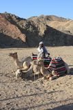 Dromedaries Stock Image