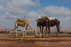 Dromedaries in Ait Benhaddou, Morocco. Two dromedaries in Ait Benhaddou, Morocco Royalty Free Stock Photo