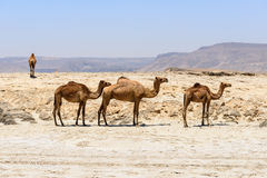 Dromedaries on the beach, Taqah (Oman). Dromedaries on the beach of Wadi Darbat, Taqah, Dhofar region (Oman Stock Images