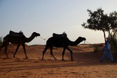 Dromedaries and camel driver. Erg Chebbi, Sahara, Morocco Royalty Free Stock Images