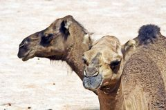 Dromedaries Stock Photo