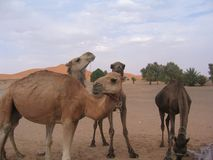 Dromedaries in the desert Stock Image