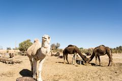 Dromedaries in the desert. Merzouga, Morocco Royalty Free Stock Photography