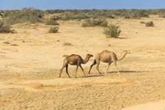 Dromedaries in desert. Group of wild dromedaries walk in desert Royalty Free Stock Image