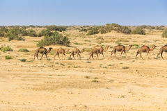 Dromedaries in desert. Group of wild dromedaries walk in desert Stock Images