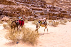 Dromedaries in the desert. Some dromedaries , also called the Arabian camel, in the Wadi Rum desert Stock Images