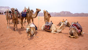 Dromedaries in the desert. Some dromedaries , also called the Arabian camel, in the Wadi Rum desert Stock Image
