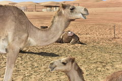 Dromedaries in the Desert. Two dromedaries in the Wahiba desert, Oman Stock Photo