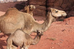 Dromedaries of the desert Wadi Rum Stock Image