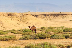 Dromedaries in desert. Wild dromedaries eat camel-thorn plant in desert Royalty Free Stock Photos