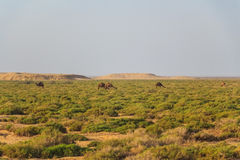 Dromedaries in desert. Wild dromedaries eat camel-thorn plant in desert Royalty Free Stock Photography