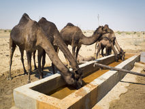Dromedaries are drinking. Dromedaries in the desert. It is warm. They are drinking Stock Image