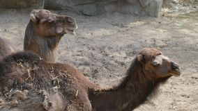 Dromedaries. Dromedaries at the zoo in Antwerp, Belgium Stock Photos