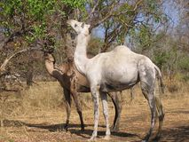 Dromedaries eating from a tree. The dromedaries are highly resistant animals in the desert climate of Africa Stock Photo