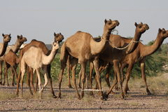 Dromedaries in India. Dromedaries in the Thar desert in Rajasthan, India Stock Photo