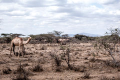 Dromedaries in Kenya. Dromedaries walking in the African steppe of Kenya Stock Photo