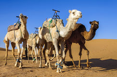 Dromedaries in Morocco desert. Group od dromedaries in the desert of Hamada Du Draa (Morocco Stone Desert Stock Images