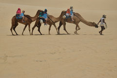 Dromedaries in Natal dune Stock Photography